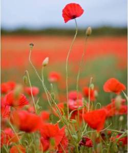 The tall poppy syndrome famous quotes in australia there is a phrase the tall poppy syndrome it describes the condition when a person is uncomfortable if one flower raises its head too far mightylinksfo